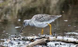 Alaska species birds FWS Donna Dewhurst greateryellowlegs