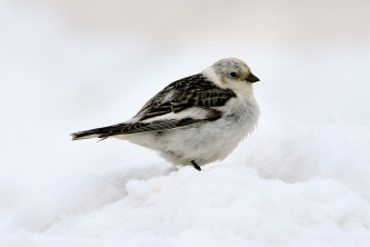 Alaska species birds FWS Donna Dewhurst snowbunting