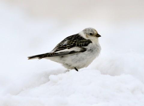 Alaska species birds FWS Donna Dewhurst snowbunting