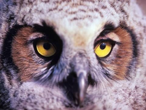 Alaska species birds Great Horned Owl Juvenile