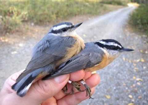 Alaska species birds red breasted nuthatches