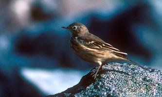 Alaska species birds american pipit