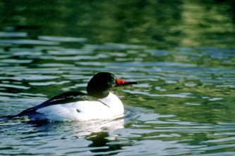 Alaska species birds common merganser