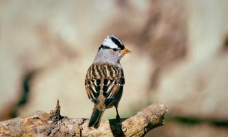 Alaska species birds white crowned sparrow
