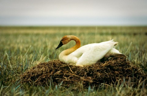 Alaska species birds tundra swan on nest