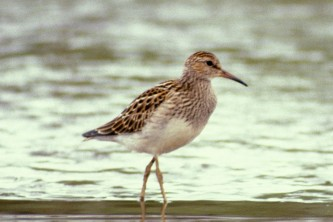 Alaska species birds Pectoral Sandpiper close C Ely med