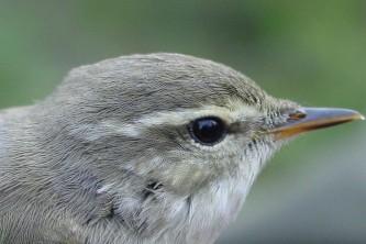 Alaska species birds Arctic warbler Denali Hwy ABO med