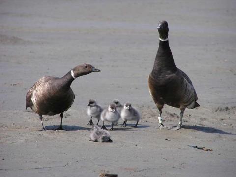 Alaska species birds BL brant family J Wasley med