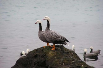 Alaska species birds Empire goose pair on rocks J Wasley med