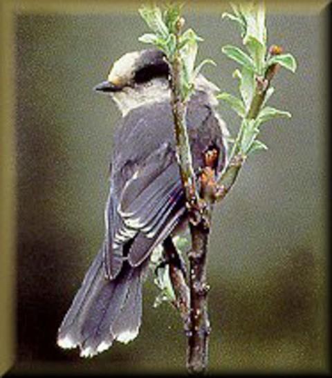 Alaska species birds gray jay