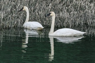 Alaska species birds Trumpeter Swans resized