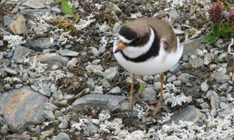 Alaska species birds Semi Palmated Plover