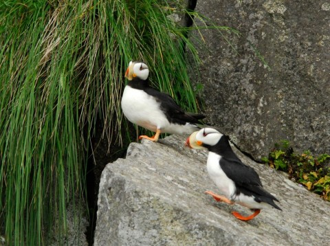 "Puffins are nicknamed ""sea parrots"" – and sometimes ""clowns of the sea""!"