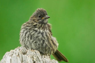 Alaska species birds song sparrow AK 1472