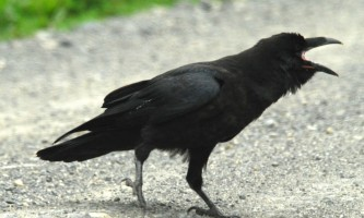 Alaska species birds raven 3 1562