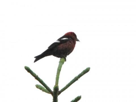 Alaska species birds crossbill white wing 1600