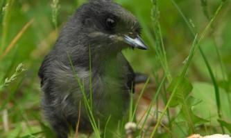 Alaska species birds Jay gray juv 1605
