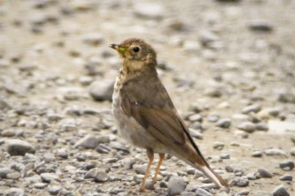 Alaska species birds swainsons thrush juv 2134