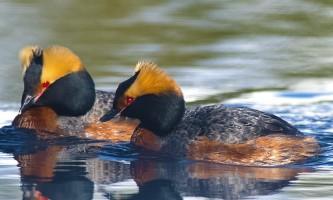 Alaska species birds Wedgewood Wildlife Sanctuary Horned Grebes Alaska Channel