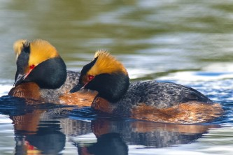 Alaska species birds Wedgewood Wildlife Sanctuary Horned Grebes Alaska Channel