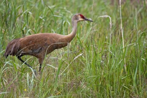 Alaska species birds Sandhill Crane Kevyn Jalone
