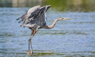 Birds from google Great Blue Heron BIRDS