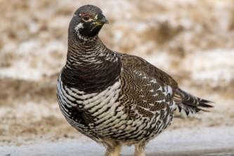 Birds from google Spruce Grouse BIRDS