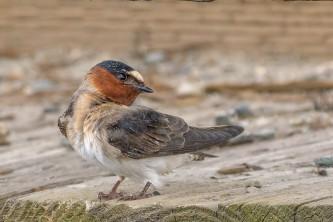 Birds from google Cliff Swallow 2019 Becky Matsubara BIRDS