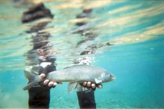 Alaska species fish arctic grayling