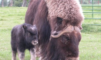 Alaska species land mammals040624 Musk Ox Summer 112 Alaska Channel