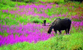 Alaska species land mammals MOOSE INFLOWERS