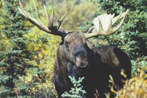 Huge moose make for spectacular sightings in the Alaskan wilderness