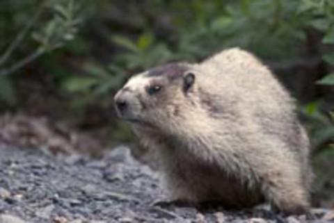 Alaska Marmot