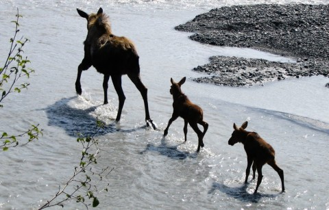 Moose with her calves on Outwash Plain