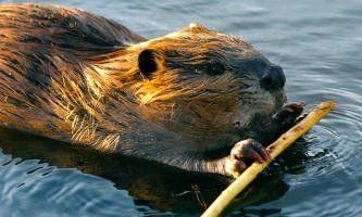 Alaska species land mammals Wedgewood Wildlife Sanctuary beaver Alaska Channel