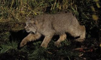 Alaska species land mammals FWS Erwin Peggy Bauer lynx