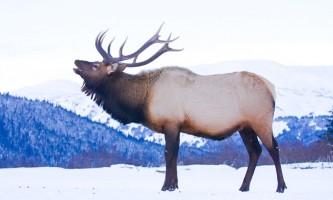 Alaska species land mammals Elk