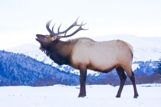 Alaska species land mammals Elk