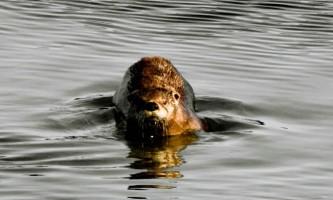 Alaska species land mammals River Otter
