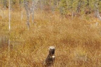 Alaska species land mammals Wolverine 2