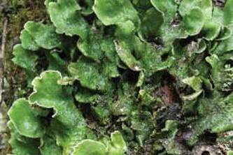 Alaska species lichens Flaky Freckle Pelt