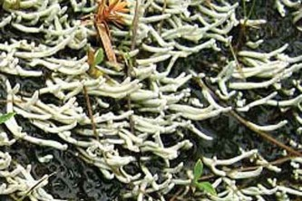 Alaska species lichens Waterfingers