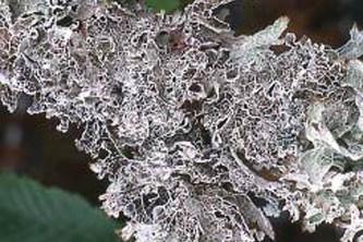 Alaska species lichens Crinkled Rag Lichen
