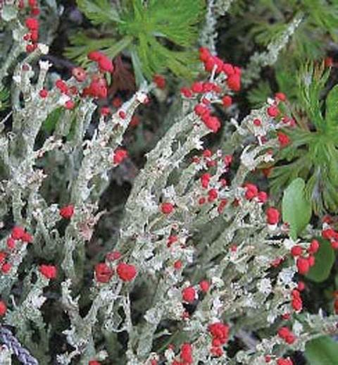 Alaska species lichens Toy Soldiers
