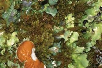 Alaska species lichens Arctic Kidney Lichen