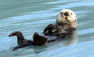 Alaska species marine mammals Sea otter D Alaska Channel