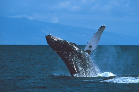 Alaska species marine mammalshumpback whale breaching