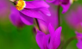 Alaska species plants flowers Shooting Star