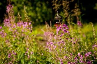 Alaska species plants flowers Botanical Gardens 0184 2 Alaska Channel