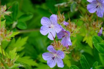 Alaska species plants flowers Northern Geranium